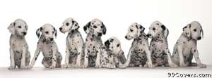 dalmations Facebook Cover Photo