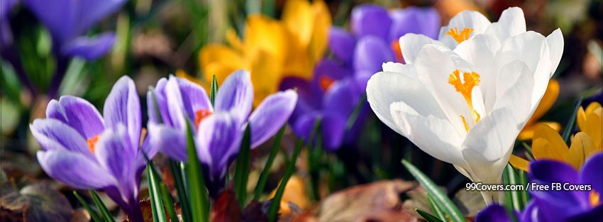 Facebook Cover Photos Flowers Spring Crocus 2 Facebook Cover Photos