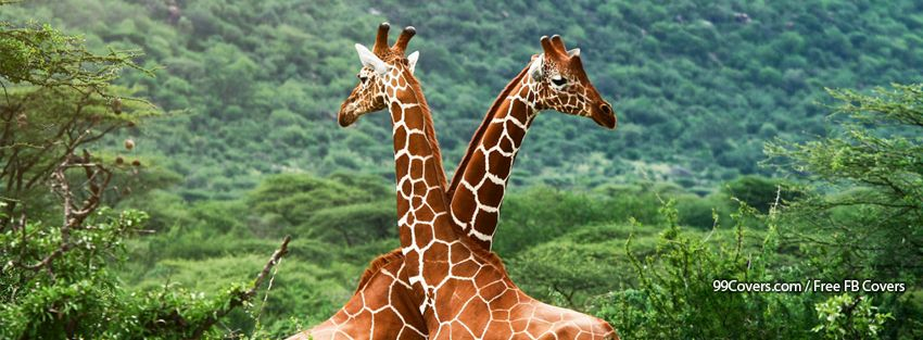 Love Giraffes Facebook Covers