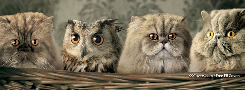 Owl Cats Facebook Covers