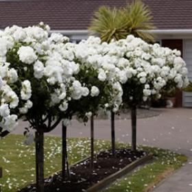 800mm Standard Roses