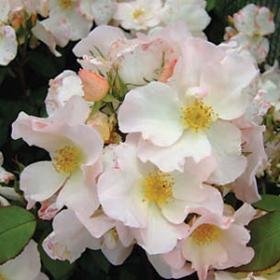 Modern Shrub Roses
