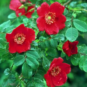 Wild Roses and Species