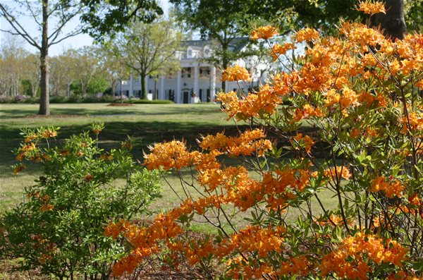 Azalea and Dogwood Trails Already Blooming in Auburn-Opelika