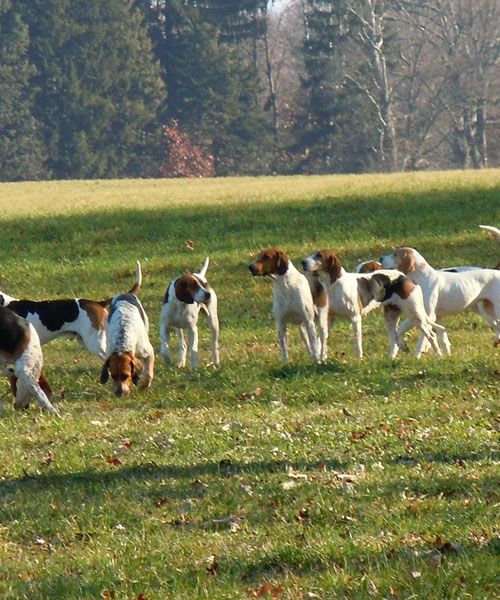 Deer Hunting With Dogs: Tip 3