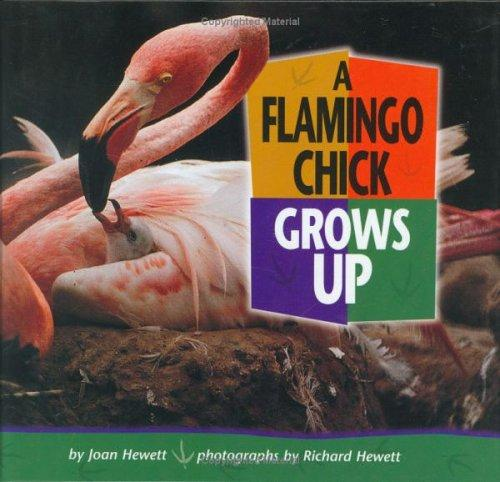 A Flamingo Chick Grows Up