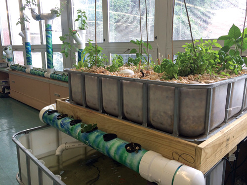 At the Cranbury (NJ) School, fish tank water cycles through a watering and irrigation system for strawberries, peppers, mint, and basil. Courtesy of The Cranbury School