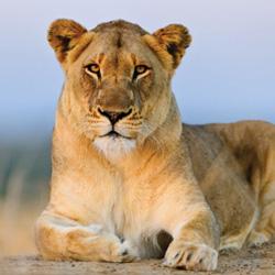 dvd-opener-blood-lions2-roger_n_pat-de-la-harpe-photography