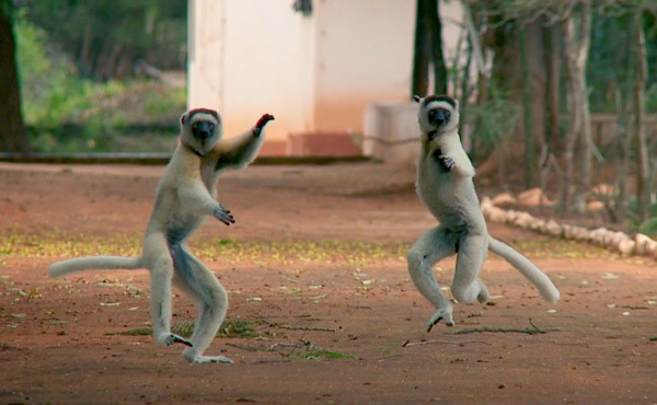 Lemurs of Madagascar, as seen in Revolution (The Video Project)