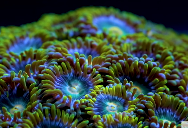 Zoanthid colony