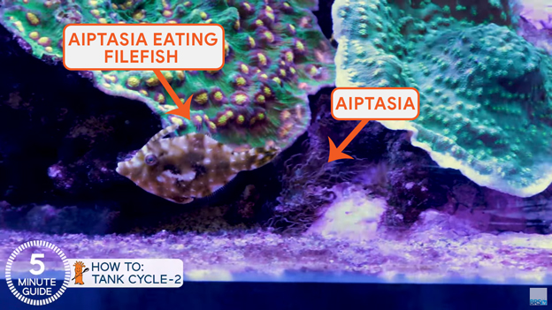 Aiptasia eatimg Filefish