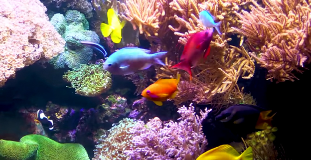 Brilliantly colored fish in a reef tank