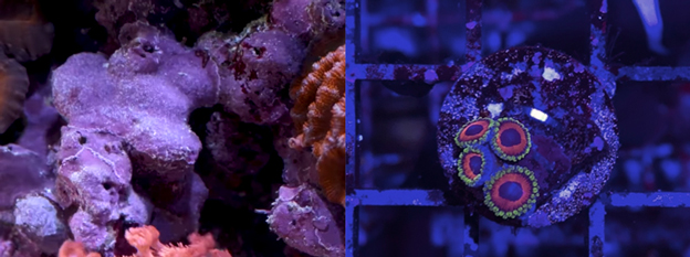 Coralline Algae and Zoanthid Frag