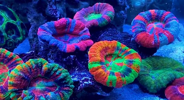 Scolymia Corals