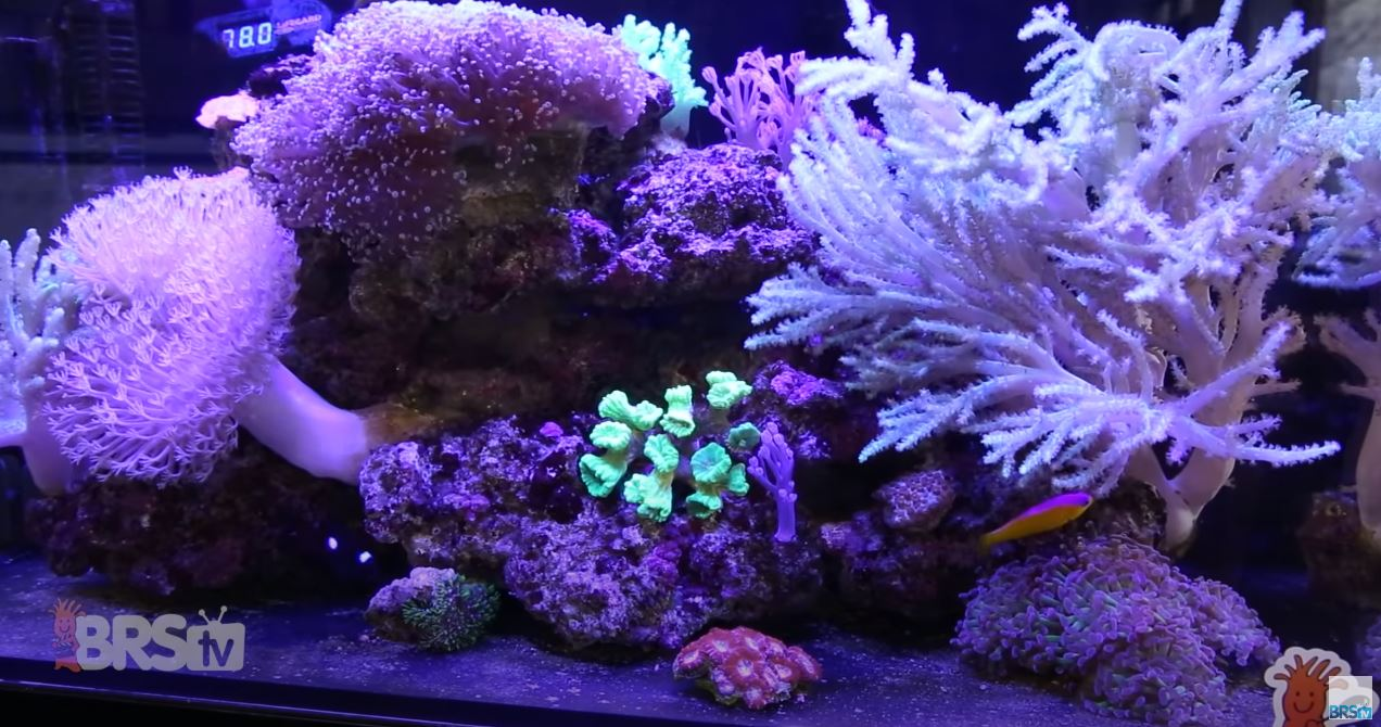 Thriving soft corals in a reef tank