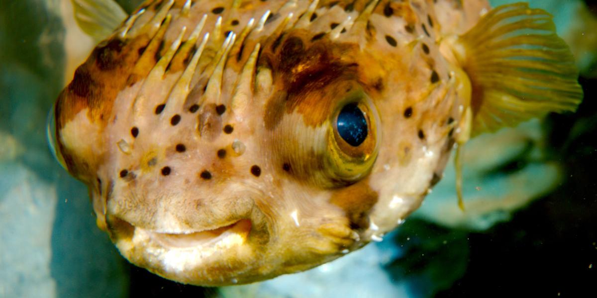 Bloat - Porcupine Puffer - Finding Nemo