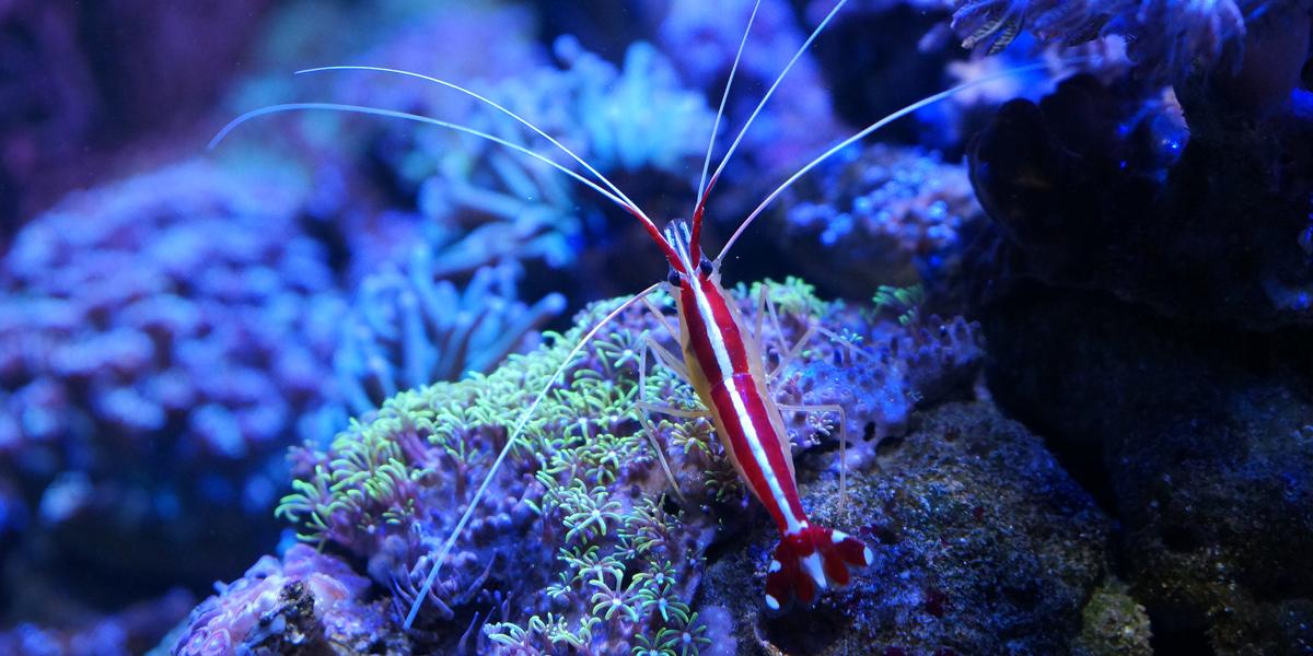 Jacque - Cleaner Shrimp - Finding Nemo