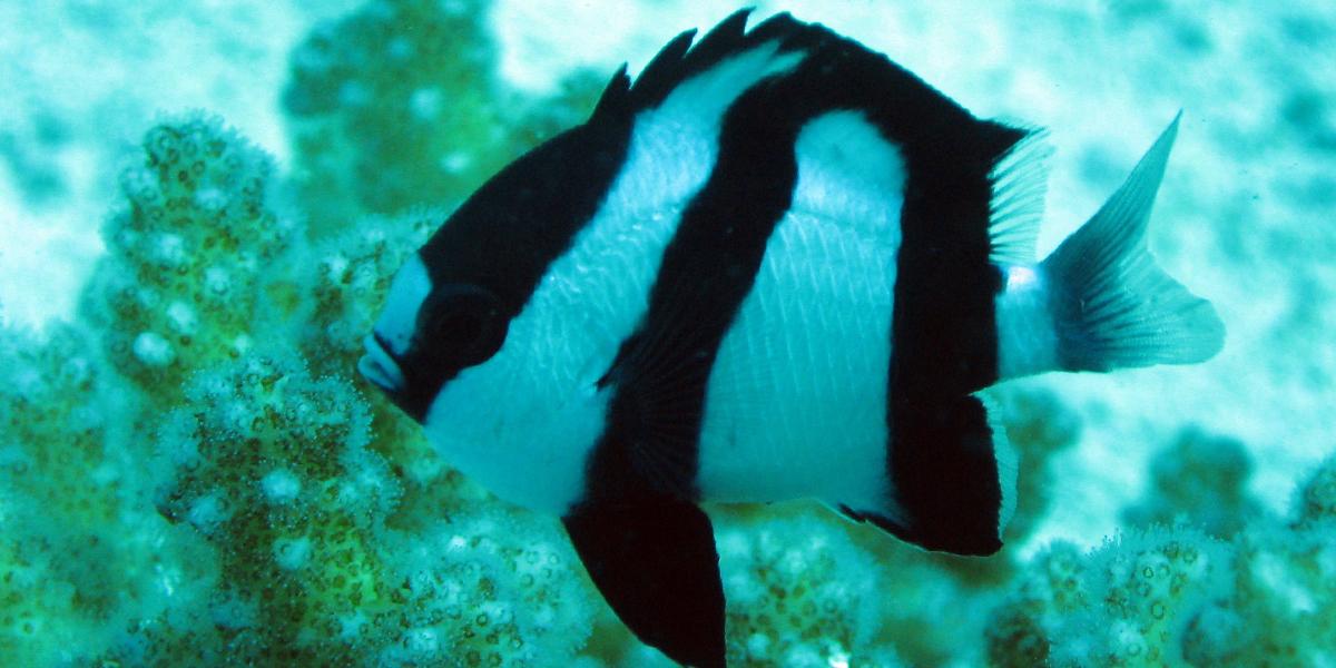 Deb - Humbug Damselfish - Finding Nemo
