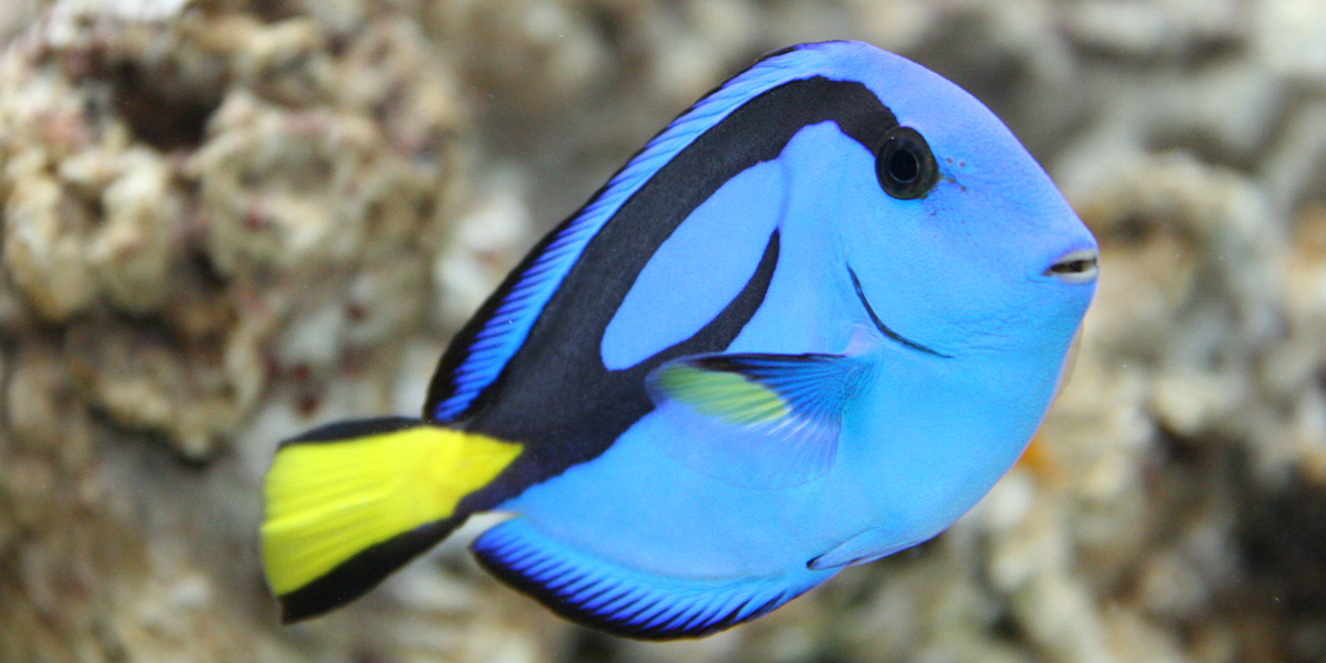 Dory - Blue Tang - Finding Nemo