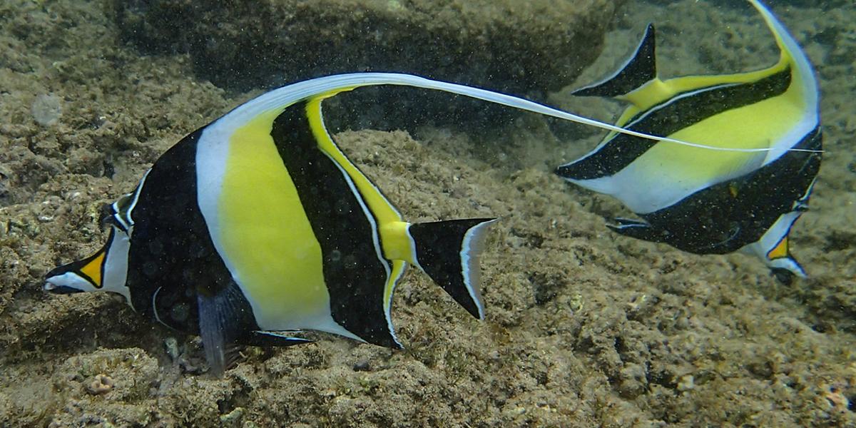 Gill - Moorish Idol - Finding Nemo