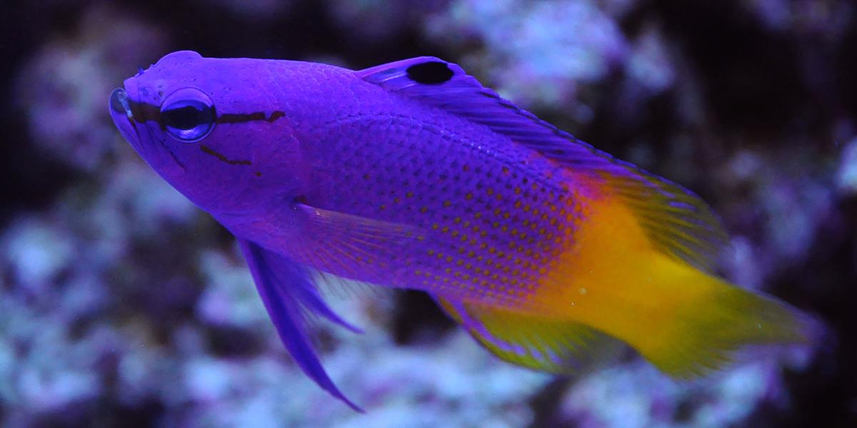 Gurgle - Royal Gramma - Finding Nemo