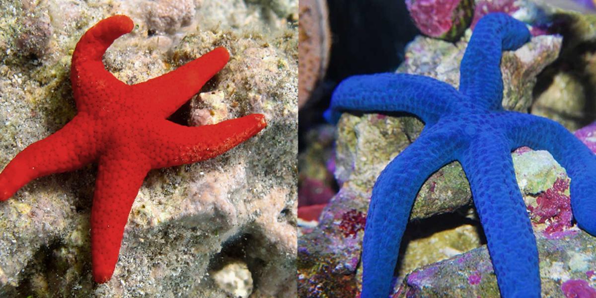 Sea Star - Peach - Finding Nemo