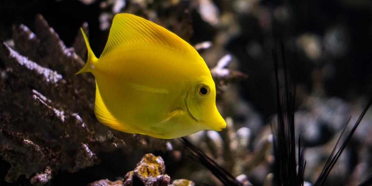 Bubble - Yellow Tang - Finding Nemo