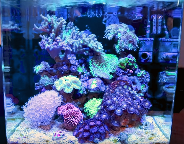 Soft Coral Tank