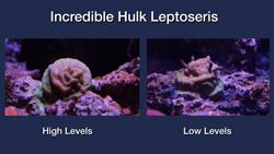 Incredible Hulk Leptoseris