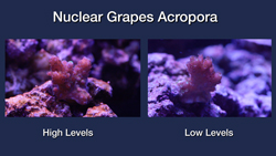 Nuclear Grapes Acropora