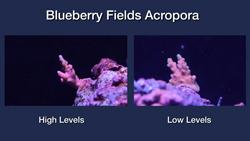 Blueberry Fields Acropora