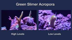 Green Slimer Acropora