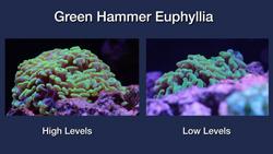 Purple Tip Hammer Euphyllia