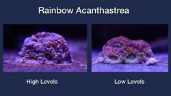 Rainbow Acanthastrea