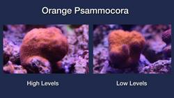 Orange Psammocora