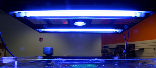 Aquatic Life Hybrid T5/LED Light over BRS office tank