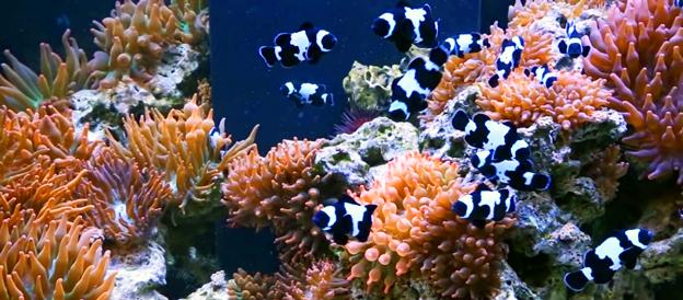 BRS Clownfish Harem Tank