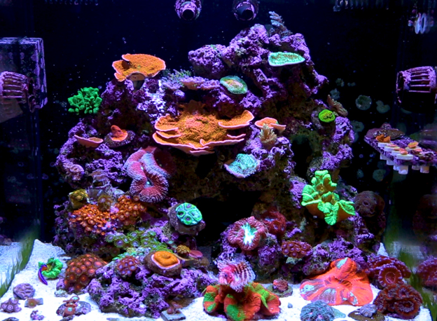 Mixed reef tank at BRS office