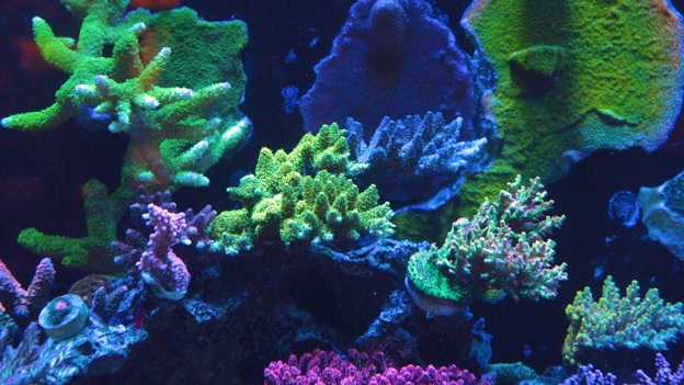 SPS corals in a reef tank