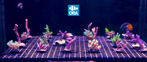 ORA Corals