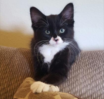 Miss Bella - Office Cat