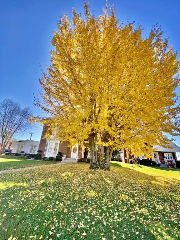 Magnificent Ginkgo Tree