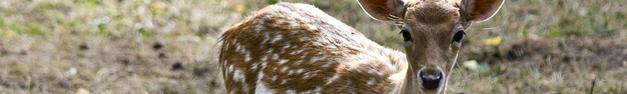 Deer-104