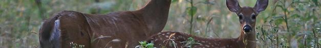 Deer-355