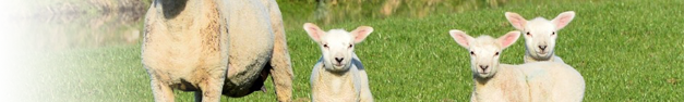 Lambs-397