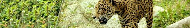 Leopard-115
