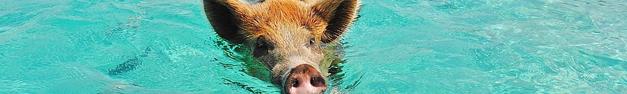 Pig-Pool-385