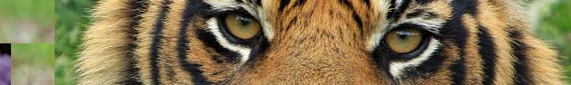 Tiger-118