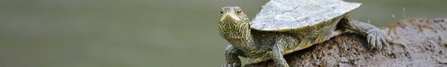 Turtle-298