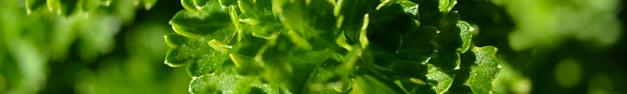 Lettuce-151